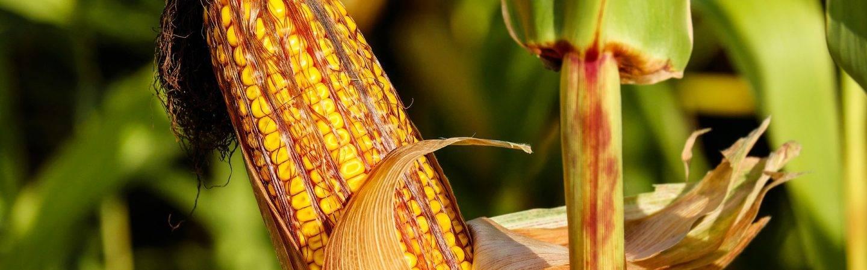Il Festival del Mais e dei Cereali darà vita a una sfida tra produttori a suon di mestoli e paioli per far assaporate le migliori polente accompagnate da fantastici sughi.